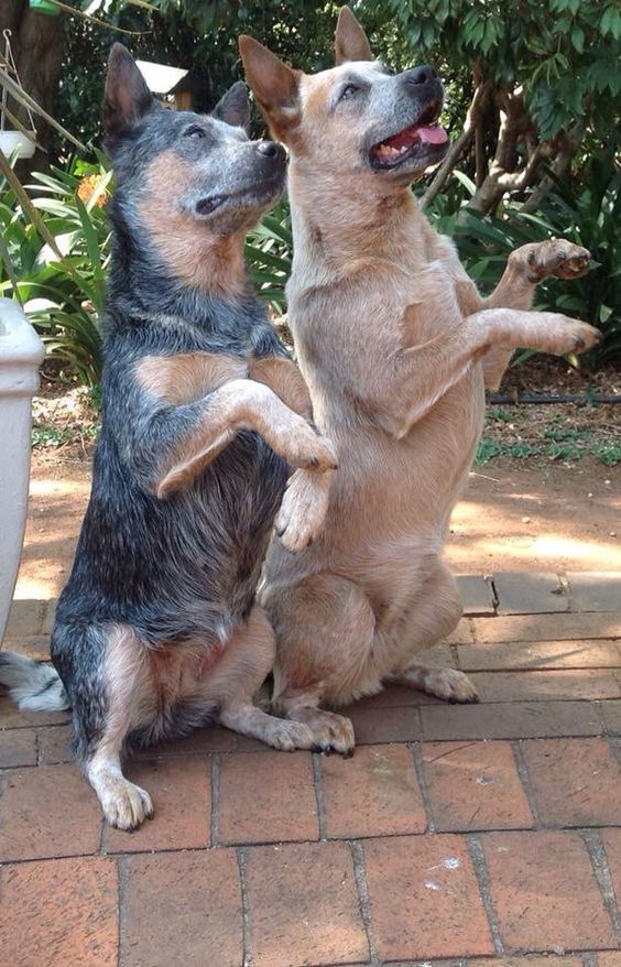 Begging for #KalebsOrganics. What else is new!? #DogTreats