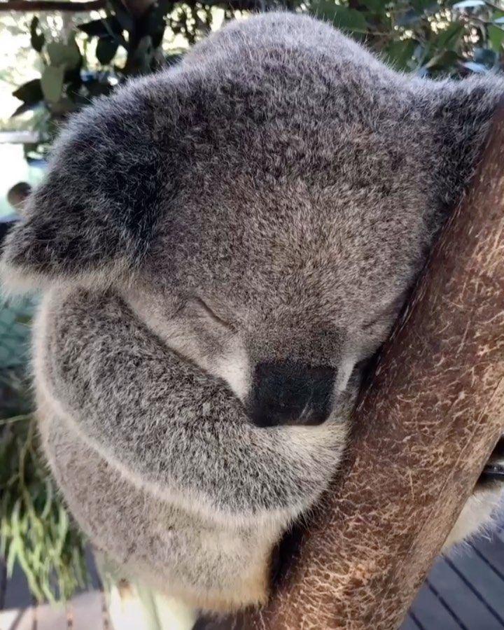 Animals Lovers On Instagram Fluffy Koala Via Discover Animal Cute Funny Animals Cute Animals Animals Amazing