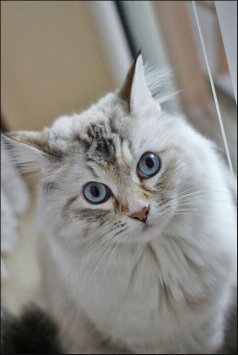 Luna, the sibirian cat.