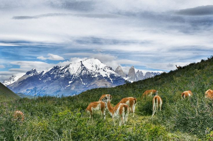 Patrick Nguyen sent us this colour rich shot of Guanacos (a species of camelid) grazing in Torres del Paine National Park in Chile. Patrick travelled on our Patagonia Hiking Adventure 'Condor' trip.   #adventuretravel #activeadventures #patagonia #hiking #photography