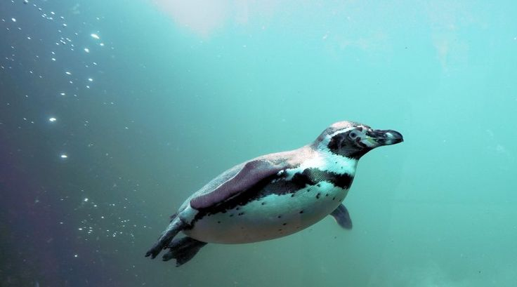 Penguin Migrates 8,000Kms Each Year To Meet Friend