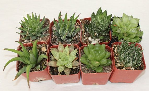 6 HAWORTHIA Succulents for Gardens, decorative pots collectors succulent