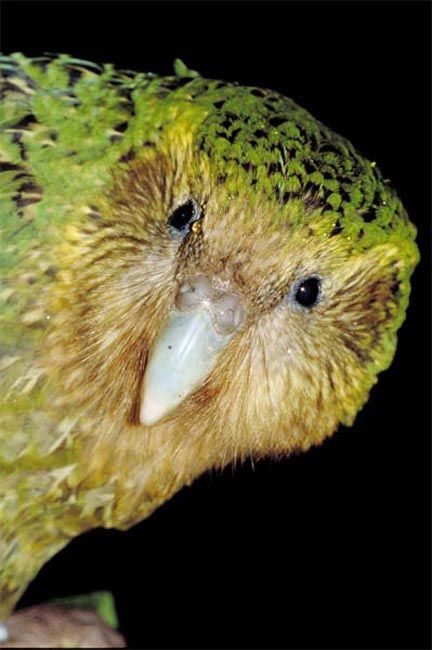 The Kakapo Parrot of New Zealand, Strigops habroptilus also called owl parrots are large, flightless, nocturnal, ground dwelling parrots that live in New Zealand. It is the world's only flightless parrot, the heaviest parrot, nocturnal, herbivorous, visibly sexually dimorphic in body size, has a low basal metabolic rate, no male parental care, and is the only parrot to have a polygynous lek breeding system. It is also possibly one of the world's longest-living birds