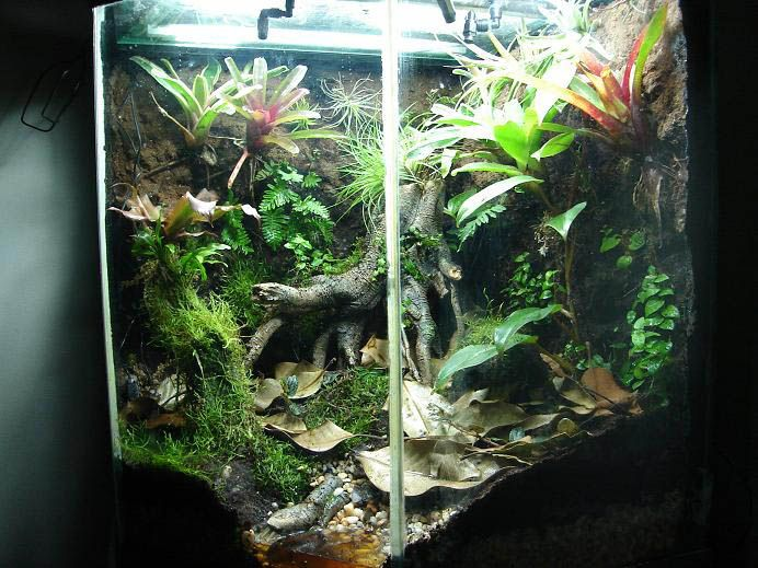 Heavily planted cave vivarium...  Beware deep water and ingestable rocks and pebbles with White's tree frogs!