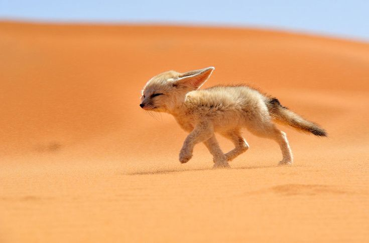 sahara desert fox photo