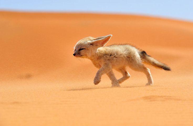 sahara desert fox photo
