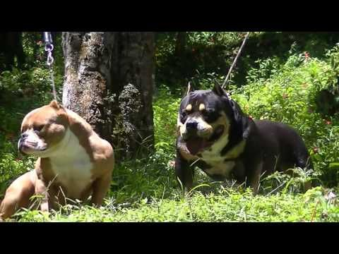 American Bully Bulldog Francês Gatos Gigantes Criadores PETCLUBE