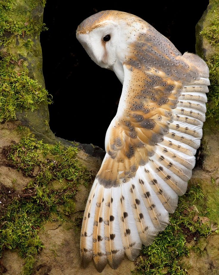 Barn Owl. Look at those long feathers, they allow silent flight.