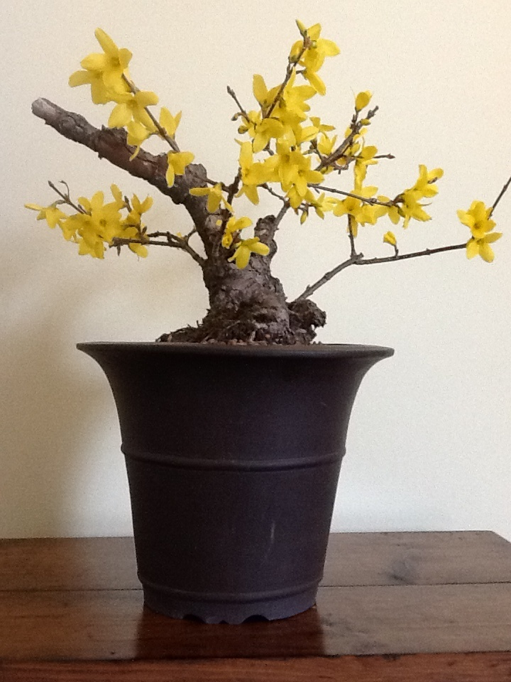 #1 Rescued forsythia bonsai from a hedgerow (three years in training).