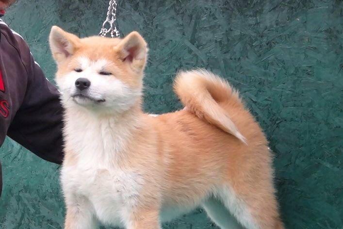 Prodaja štenaca-Akita