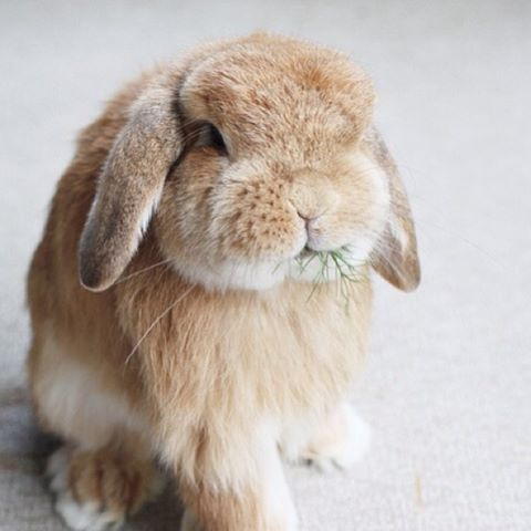 Mini (or Holland) Lop Depending on the weight, the lops weighing under 4 lbs are Holland Lops, considered dwarf of the breed of lop eared rabbits. <3 <3 <3