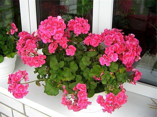 Какие растения оказывают благотворное влияние на микроклимат помещений 0