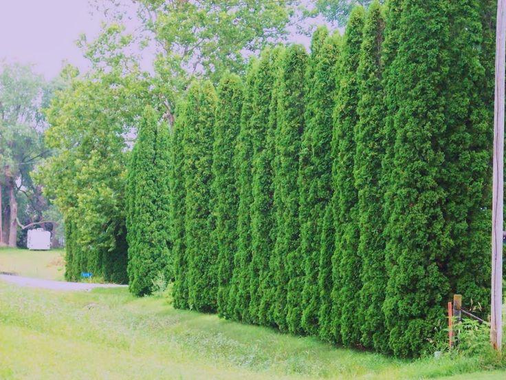 G a r d e n M o t h e r: American Arborvitae - Thuja orientalis