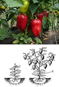 Как вырастить хороший урожай перцев.