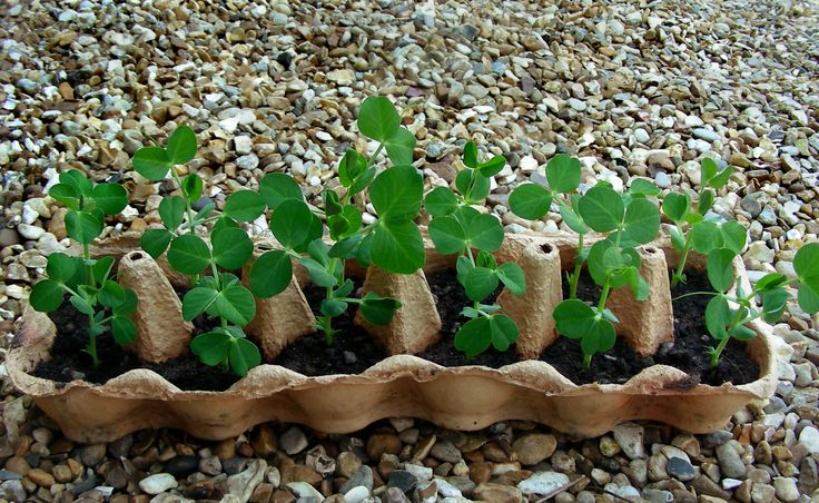 Start peas off in egg boxes - great idea