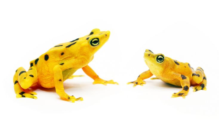 Success: Panama's golden frog bred in captivity