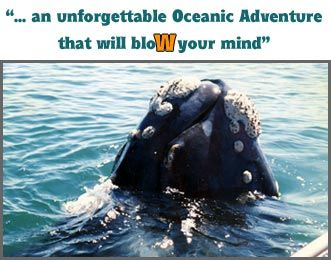 Whale Watchers Hermanus - Boat-based whale watching tours in Hermanus, South Africa