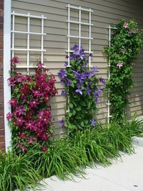 Clematis Climbing Wall - two trellises along the driveway wall of the house - maybe honeysuckle and clematis?