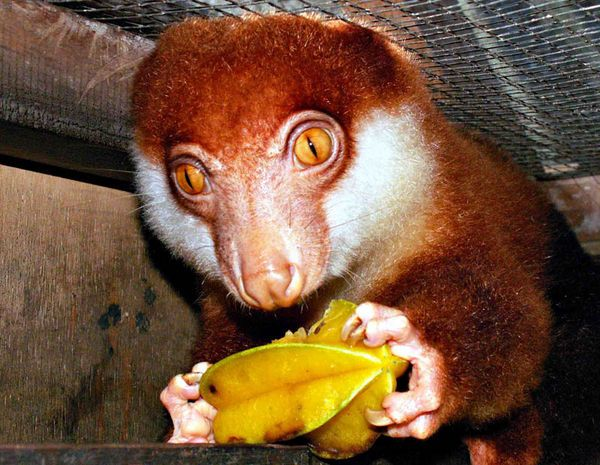 Black-spotted Cuscus... Endemic to New Guinea. Each one of these little marsupials have a personal name, for there are only 18 known to exist...