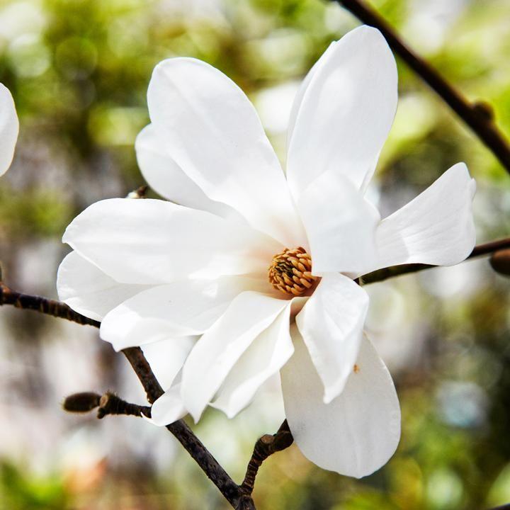 Den ser ömtålig och nästan övernaturlig ut när den slår ut med stora fladdrande blommor på nakna trädgrenar. Men magnolian är robustare än många tror, och med rätt knep kan du locka in den i din egen trädgård. Längtar du efter en egen magnolia? Här hittar du din favorit.