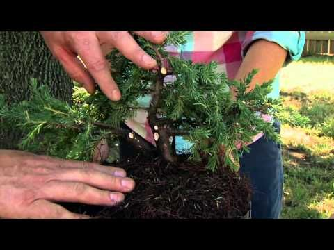 Starting Your Own Bonsai - This guy demonstrates this very well. I don't do the pot change at the end like he does. I learned from a friend who ran a nursery and created beautiful Bonsai trees that they grow into a nice looking thicker trunk better when you leave them to grow in a normal pot & best in the ground. You can prune back the roots & place them in a Bonsai pot at a later time