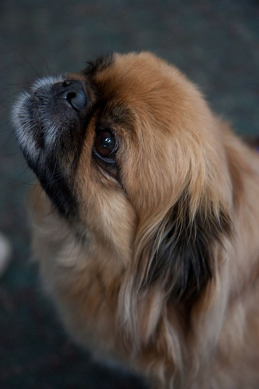 Merlin #Pekingese I had a dog just like this growing up!! Her name was baby and she was so ugly she was adorable ❤️