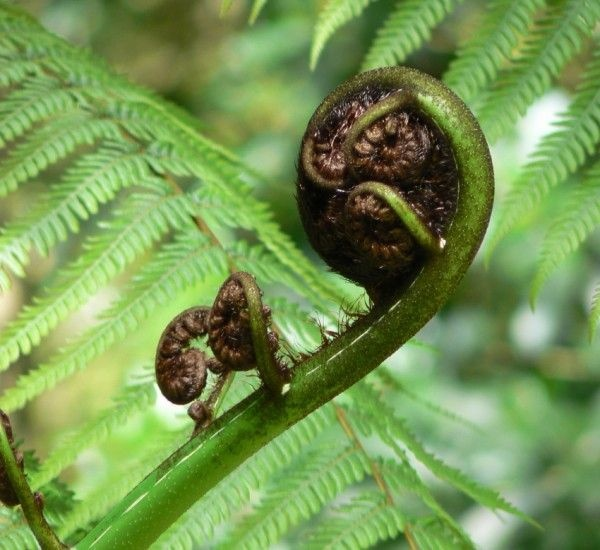 Tree Fern - New Zealand Native