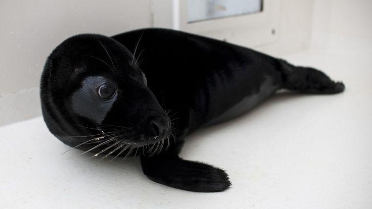 Zwart zeehondje Pieterburen - black baby seal
