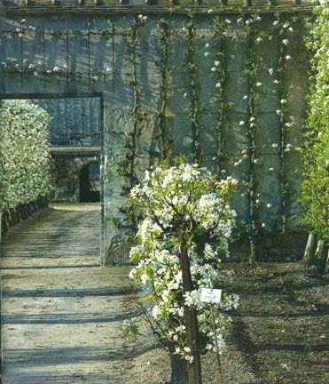 158 best images about espalier on pinterest gardens. Black Bedroom Furniture Sets. Home Design Ideas