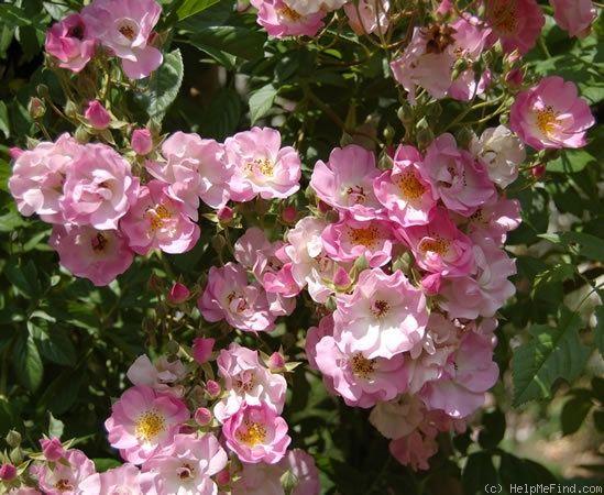 'Evangeline ' Rose Photo*
