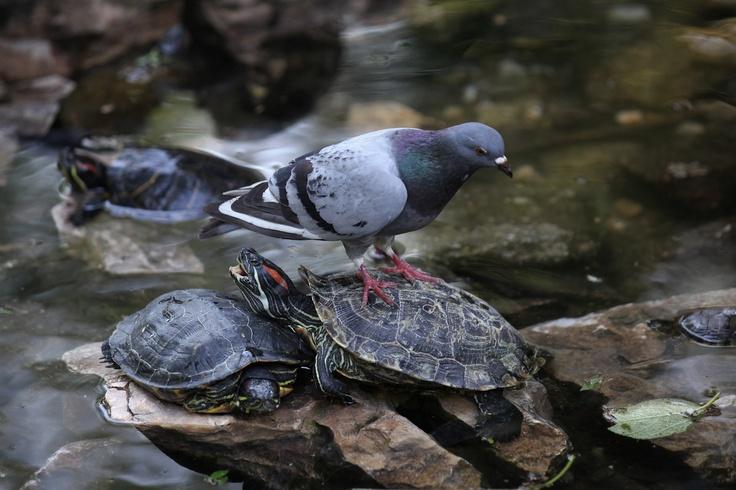 Yorgun güvercin, su kaplumbağasının üzerinde soluklanıyor. Atina Milli Parkı.