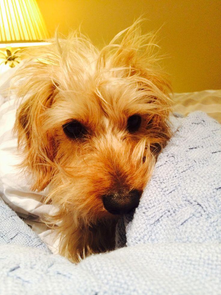 Puppy bed hair! Wire-haired Dachshund