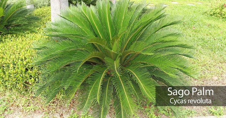 Sago Palm Care: How To Grow And Care For Cycas Revoluta