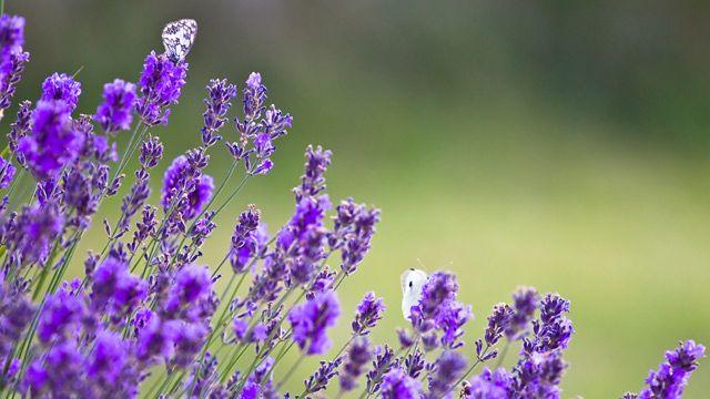 Lavendel: Die stark duftende Pflanze zählt zu den Highlights im Garten. Das sollten Sie beim Pflanzen und Zurückschneiden von Lavendel beachten.