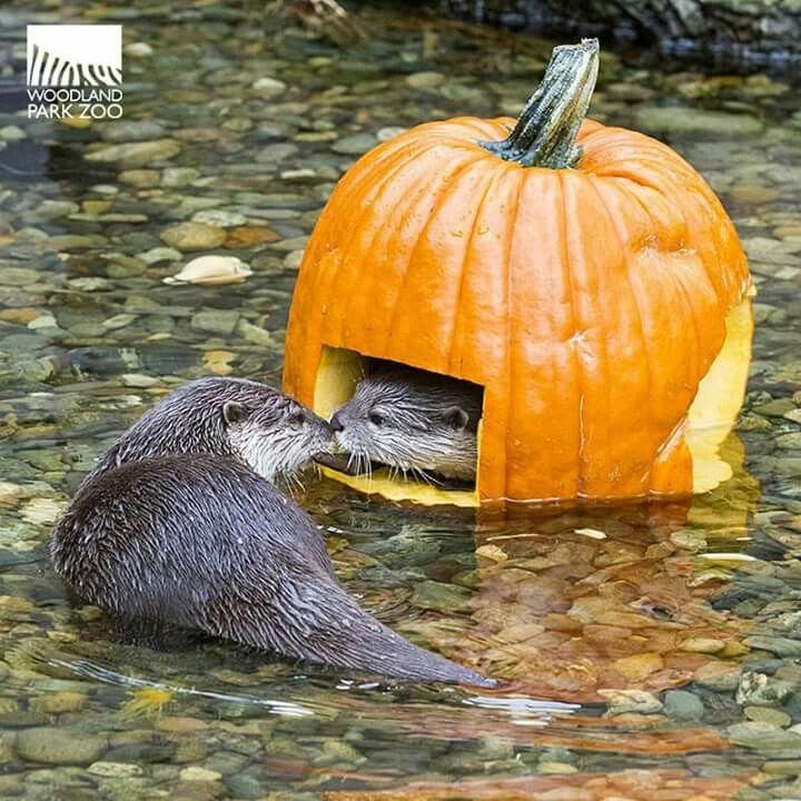 Pumpkin spice otters. Randomly adorable.