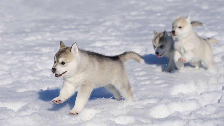 Cute Husky Puppies Running in The Snow