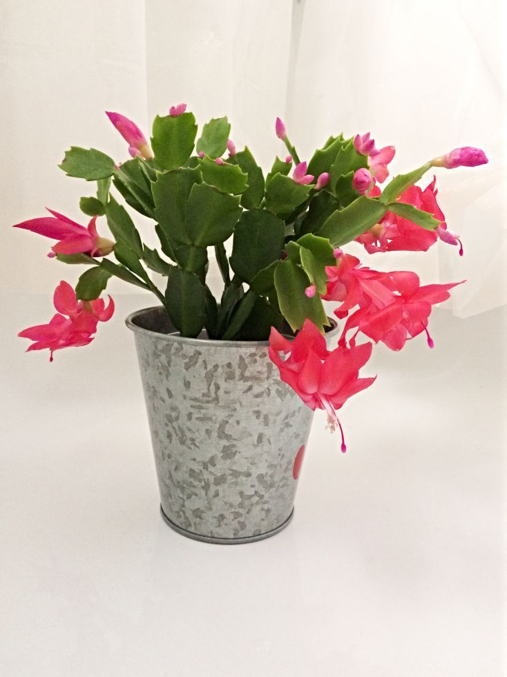 Does your Christmas Cactus refuse to bloom? Stop seething with