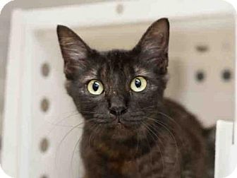 LUNA - A752143 - URGENT - Austin Animal Center in Austin, TX - ADOPT OR FOSTER - Young Spayed Female Domestic Mediumhair
