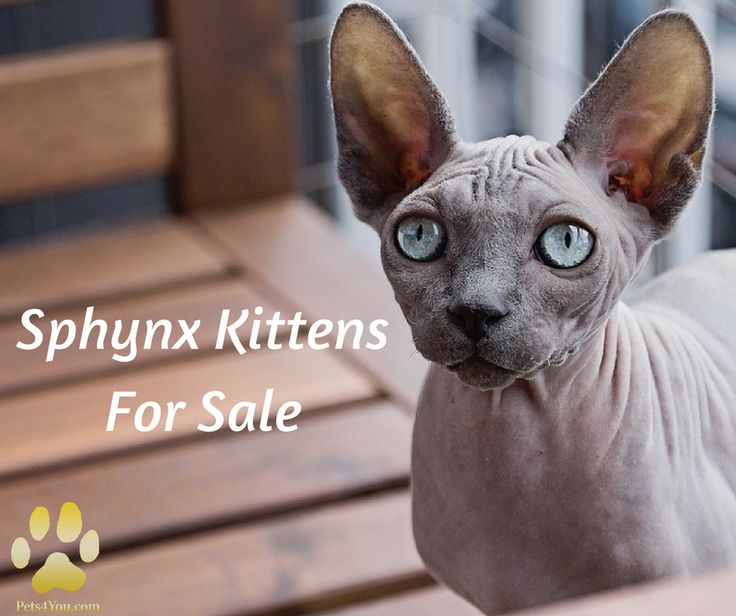 The Sphynx is an affectionate, happy companion cat. They are sociable, alert and very curious. Their skin feels warm and soft to the touch and they make a good bed buddy on cold nights.