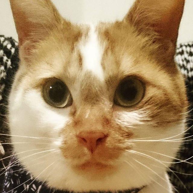 ドドーン、陸たんの #どあっぷ どーん! バンダナをしているとお顔がさらに大きく見えて、まんまるです😁 目力のない陸たん、#ドアップ もぽやーんとしてますが、#土アップ祭 と #髭祭 に行ってくるにゃん🐾 😸 😸 😸 名前  陸 首飾りをつけたらまんまるフェイスに #映画ねこあつめの家 #猫 #ネコ #にゃんこ #cat #萌貓 #貓 #愛猫 #保護猫 #保護猫出身 #猫好きな人と繋がりたい #ふわもこ部 #茶白猫 #茶しろ猫 #茶しろ組 #にゃんすたぐらむ #にゃんだふるらいふ #catstagram #mylovelycat #PMENS #みんねこ #ペコねこ部 #ピクネコ #picneko #ウェブキャットショー #ウェブキャットショー2