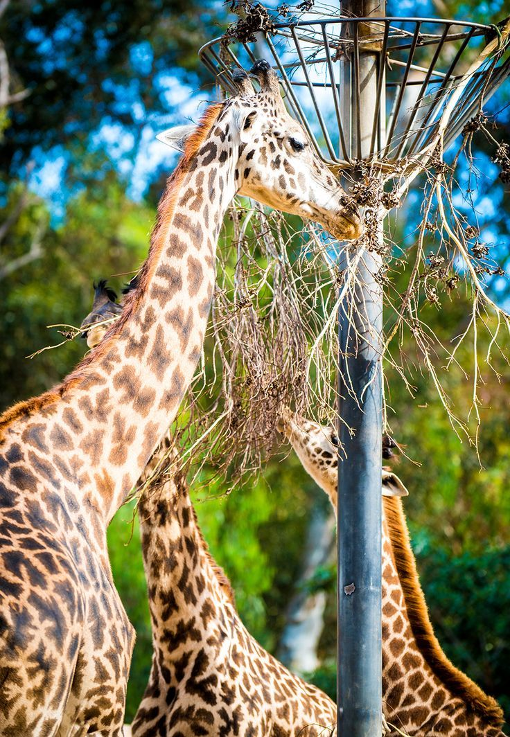 A great option for a Southern California vacation. Check out these San Diego Zoo tips!