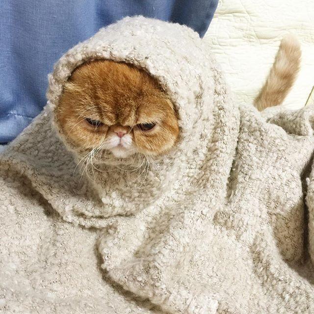 NOAH 怒ってなどいない… #そでねこキャンペーン2 #そでねこ #否めないET感 #ノア坊ちゃま #ilovecat #cat #exoticshorthair #ねこ#猫#エキゾチックショートヘアー #エキゾチックショートヘア #ぶさかわ