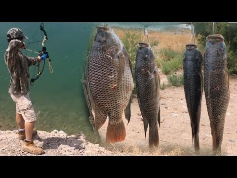Bowfishing Tilapia And Carp In Clear Water Using A Infinite Edge Bow And AMS Kit - YouTube  I don't like the killing, but skills must be treined.
