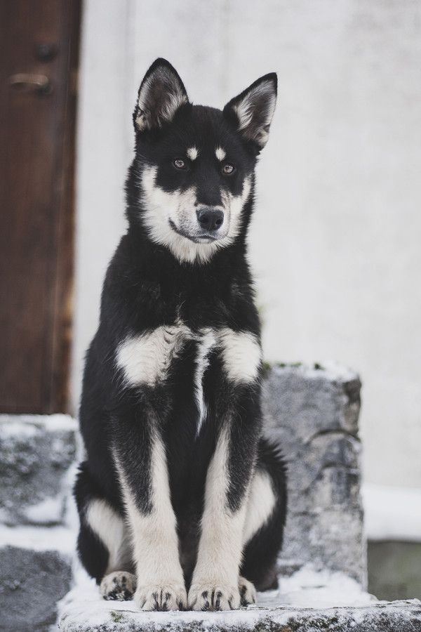1000+ images about Husky Greetings on Pinterest ...