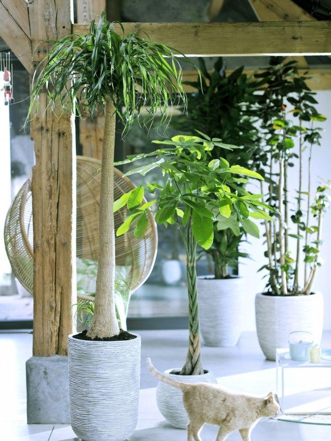 Een kamerboom is een prima alternatief voor de kerstboom om sfeer en natuur-van-formaat in huis te hebben. #MWPD #woonplant #WPVDM #kamerboom