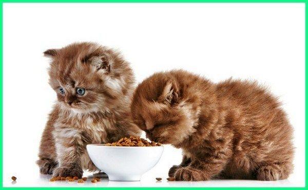 7 Cara Melatih Kucing Makan Makanan Kering Ekor9 Com Hewan Binatang Kucing