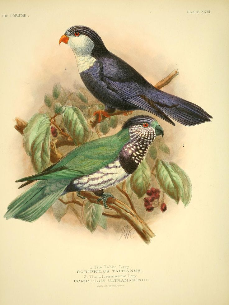 A monograph of the lories, or brush-tongued parrots : - Biodiversity Heritage Library