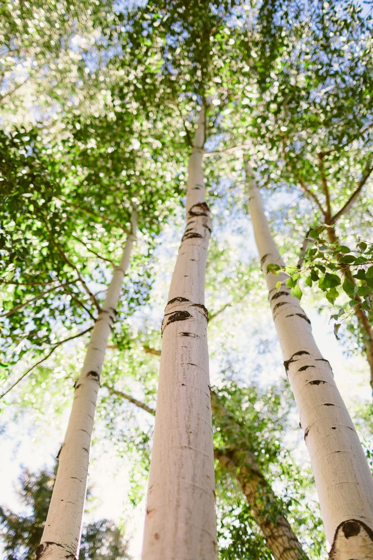 thegeorgiasoul:  chrisozer:  Food  Wine Classic — June, 2013  Ugh. I've been away less than 24 hours and I'm already heartsick for this.   aspens are my second favorite type of tree.