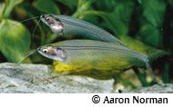 Glass Catfish - Aaron Norman