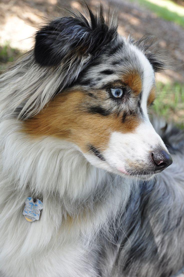 Best 25 Blue merle australian shepherd ideas on Pinterest